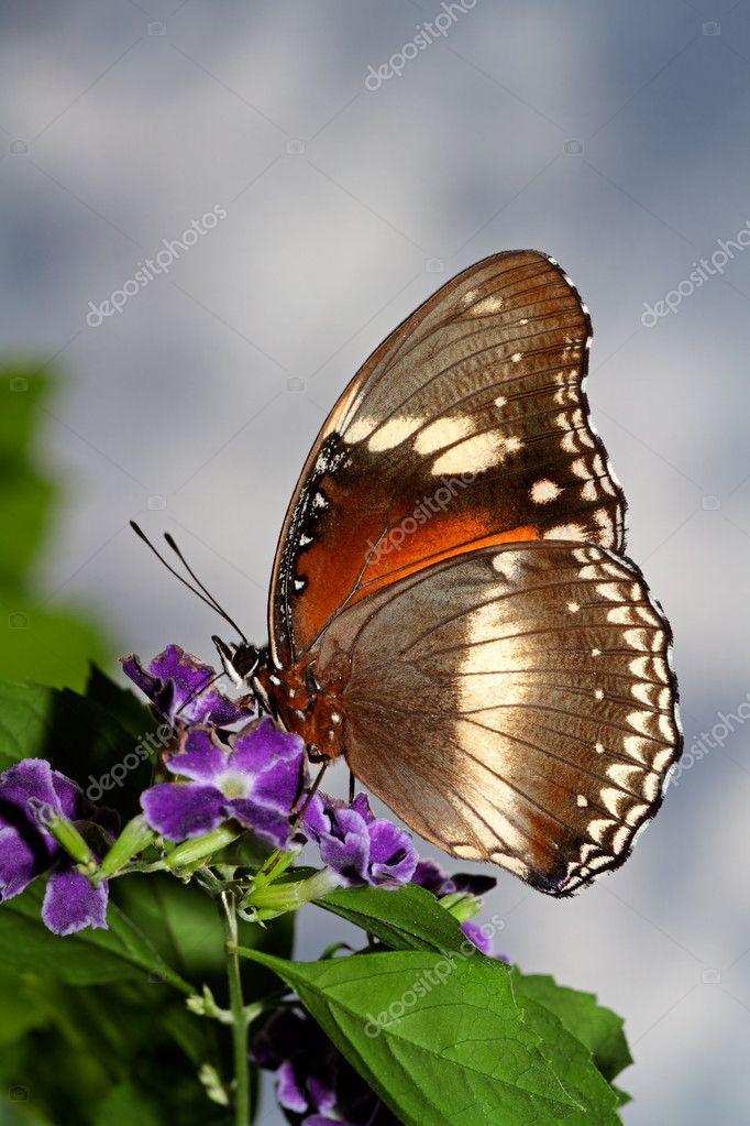 Futterung Schmetterling Stockfoto C Ecopic 4757491