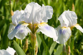bílý Kosatec, jarní květ