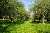 Blühender Apfelgarten