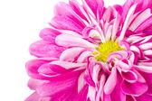 Fényképek Rózsaszín krizantém virág