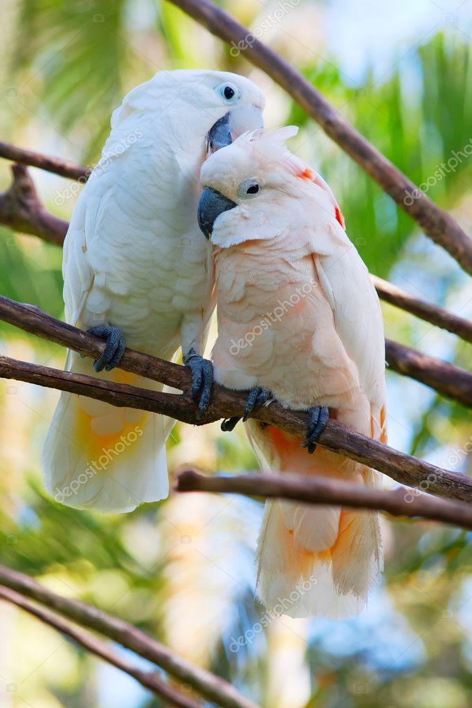 Pair of cockatoo