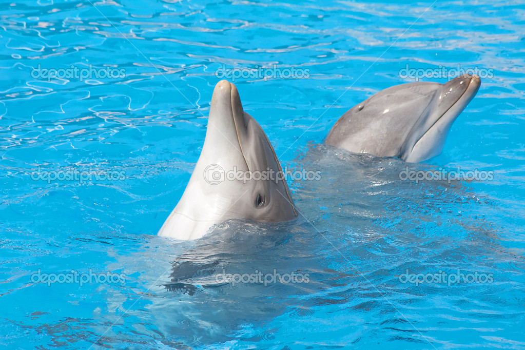 Pair of bottlenose dolphins