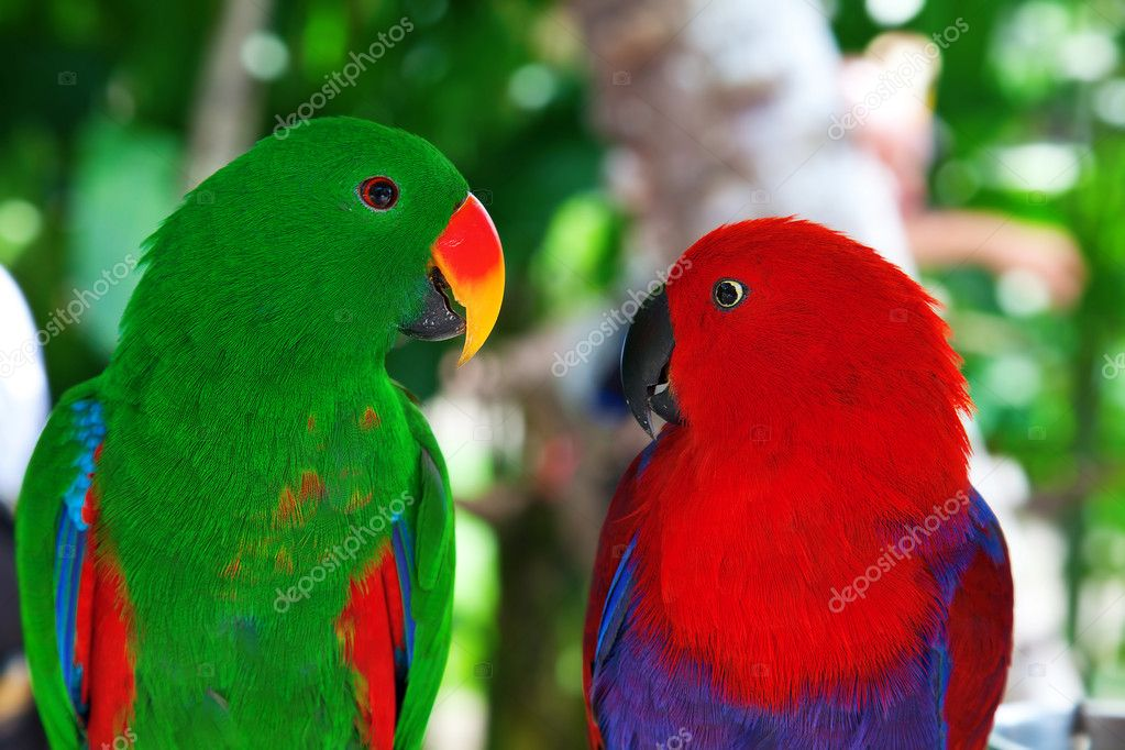 Pair of lori parrots