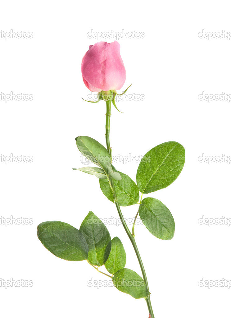 Pink rose on a long stalk. on a white background. isolation