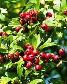 Fotografie Red hawthorn berries