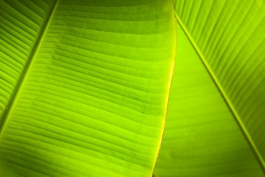 Back light overlapping banana leaves