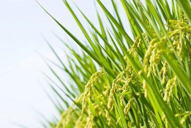 Rice harvest, paddy rice farm