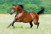 Fényképek öböl arab ló fut vágta