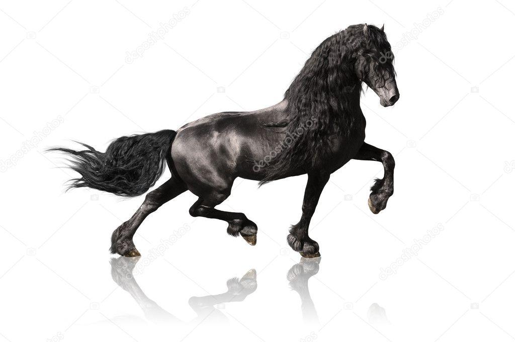 Black Friesian Horse Isolated On White Stock Photo C Vikarus 4295900