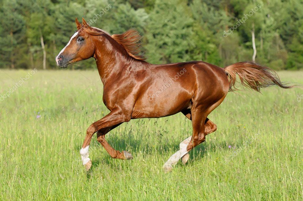 Chestnut horse runs gallop — Stock Photo © vikarus #4843298 - photo#24