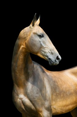 Akhal-teke horse stallion portrait isolated on black