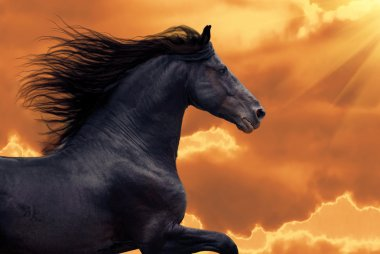 Portrait of galloping frisian horse on golden coulds sky