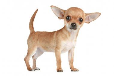 Puppy Chihuahua