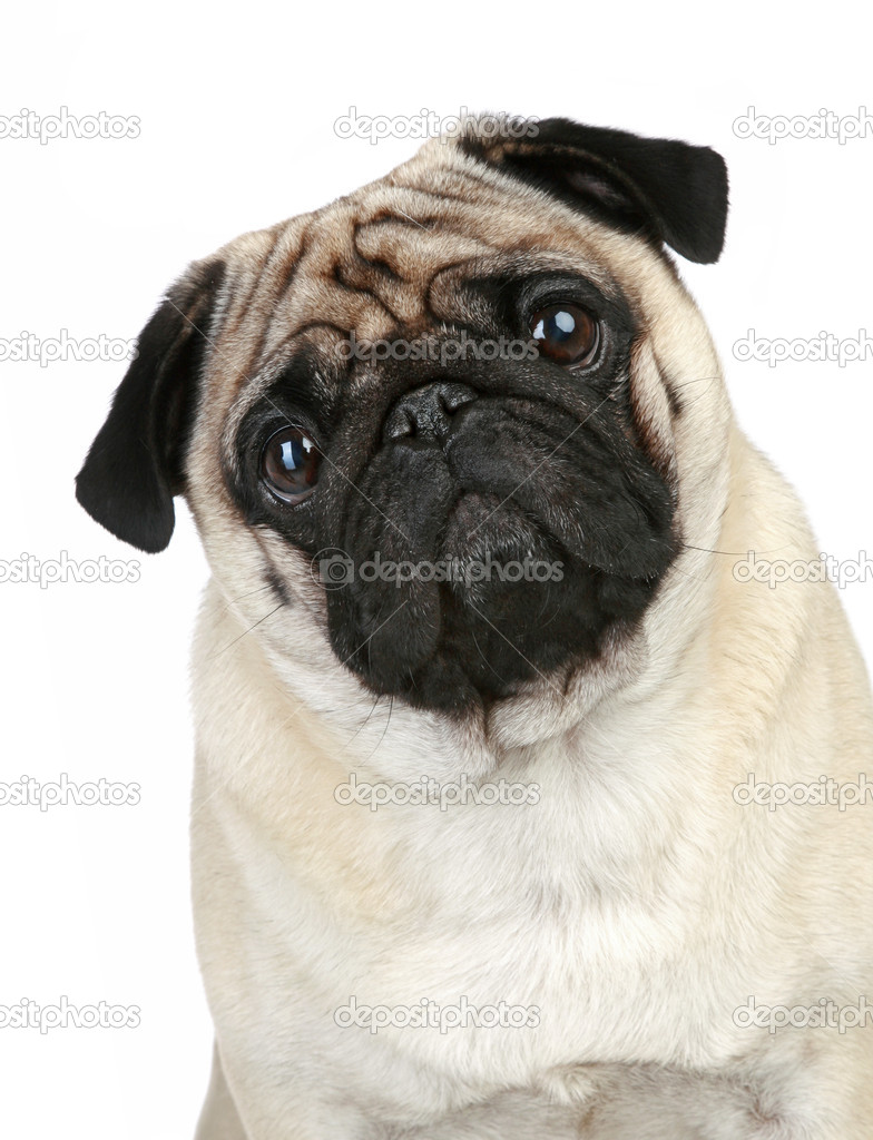 Pictures Pug Puppies Funny Funny Pug Puppy Sitting On A White Background Stock Photo C Fotojagodka 4193120