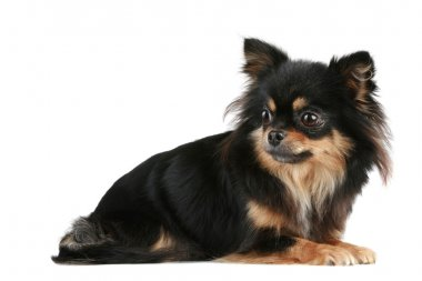 Long-haired Chihuahua