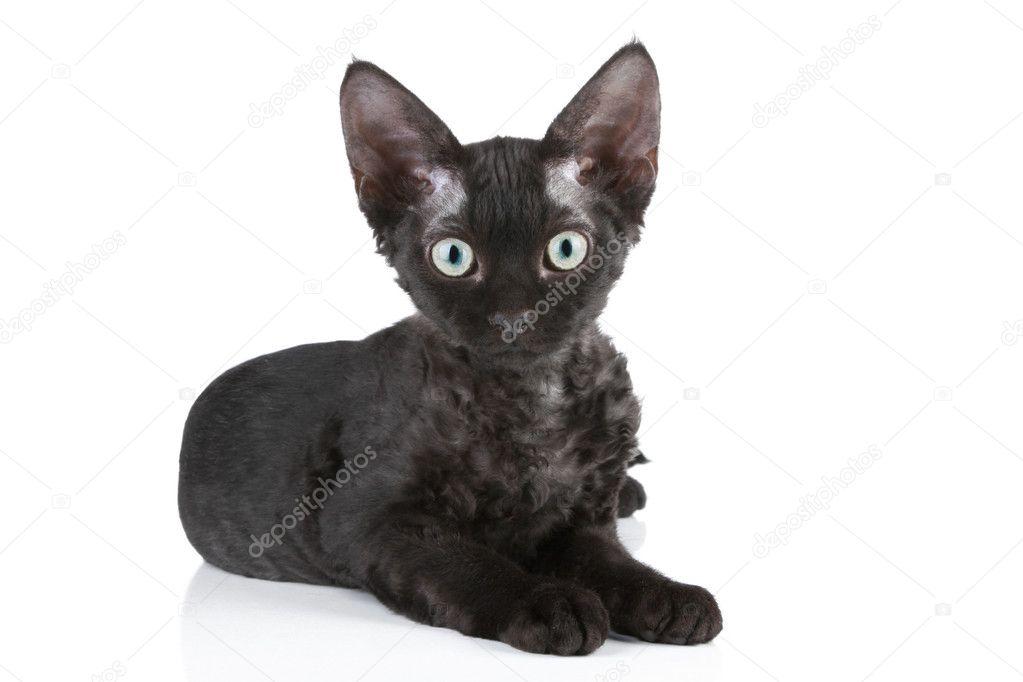 Devon Rex Kot Rasa Czarna Zdjęcie Stockowe Fotojagodka 4411662