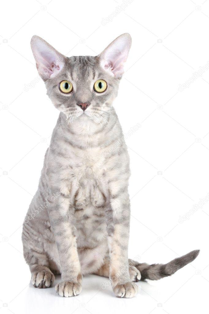 Devon Rex Kot Rasa Zdjęcie Stockowe Fotojagodka 4440992