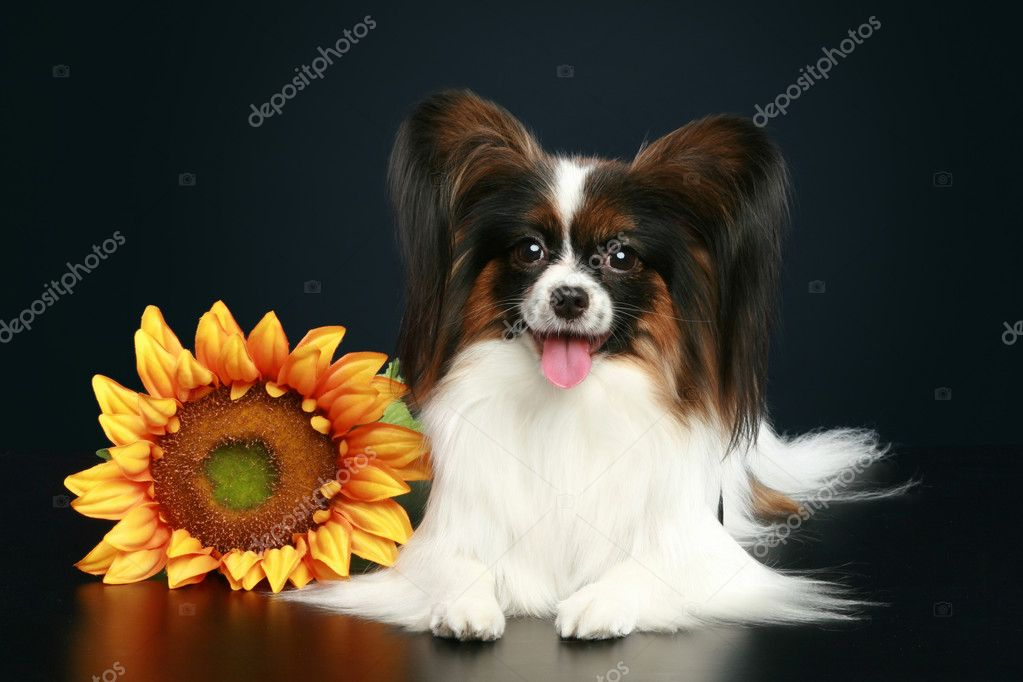 Papillon breed dog with sunflower