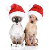 Fotografie lustige Devon-Rex-Katze und Toy-Terrier in weihnachtsmützen