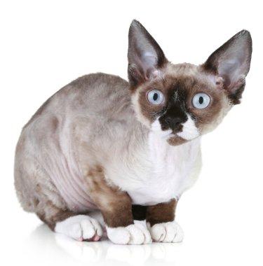 Devon rex cat close-up portrait