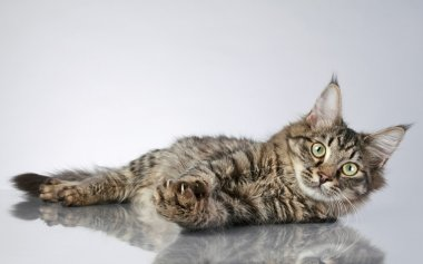 Maine Coon, lying on a grey background. Studio shot