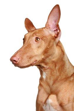 Pharaoh hound on a white background
