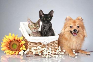 German Spitz dog with Devon Rex cats