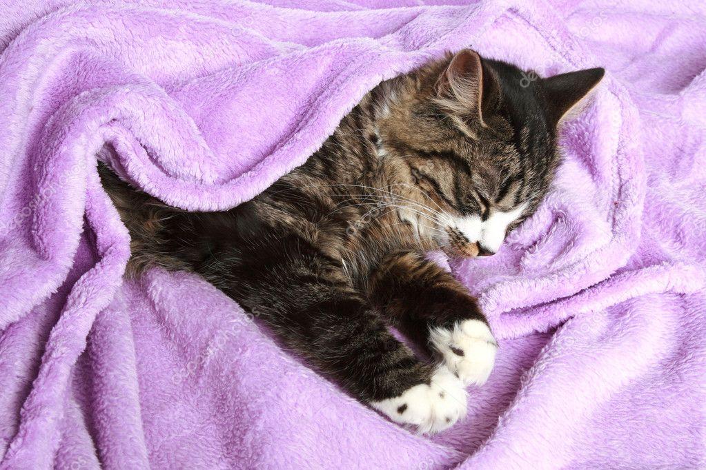 Cat sleeps covered soft blanket