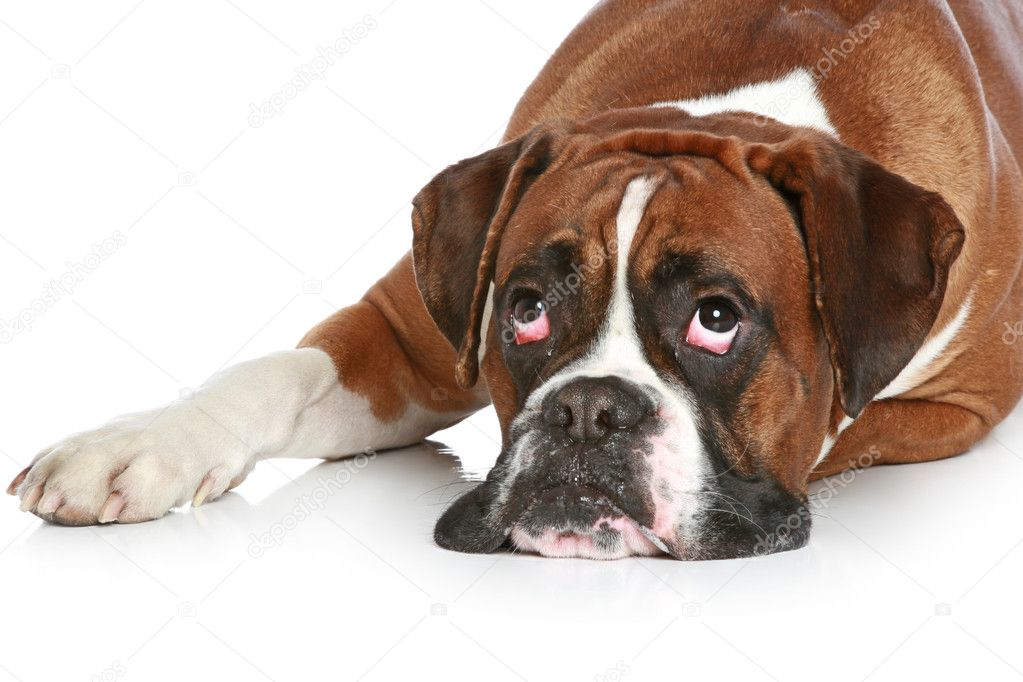Boxer Dog Breed Standard