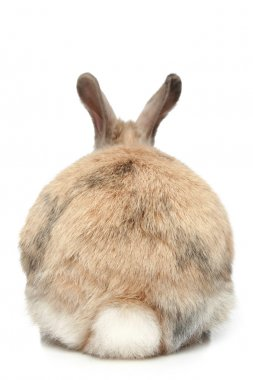 Rabbit (rear view)