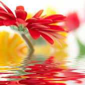 Fotografie Red daisy-gerbera with soft focus reflected in the water