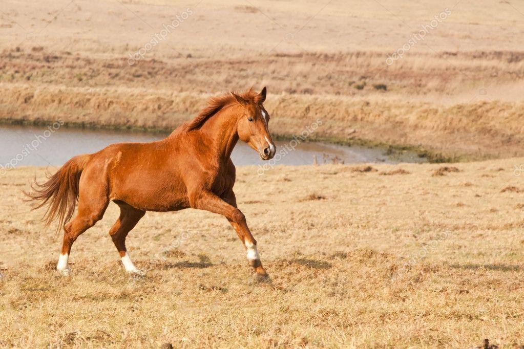 Chestnut horse running — Stock Photo © AOosthuizen #4734440 - photo#8