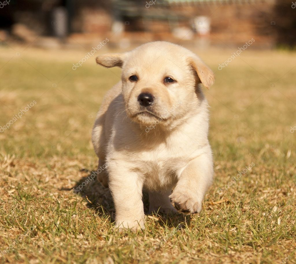 White laborador puppy runs on grass