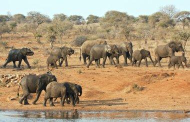 Elephant herd walking past a water hole