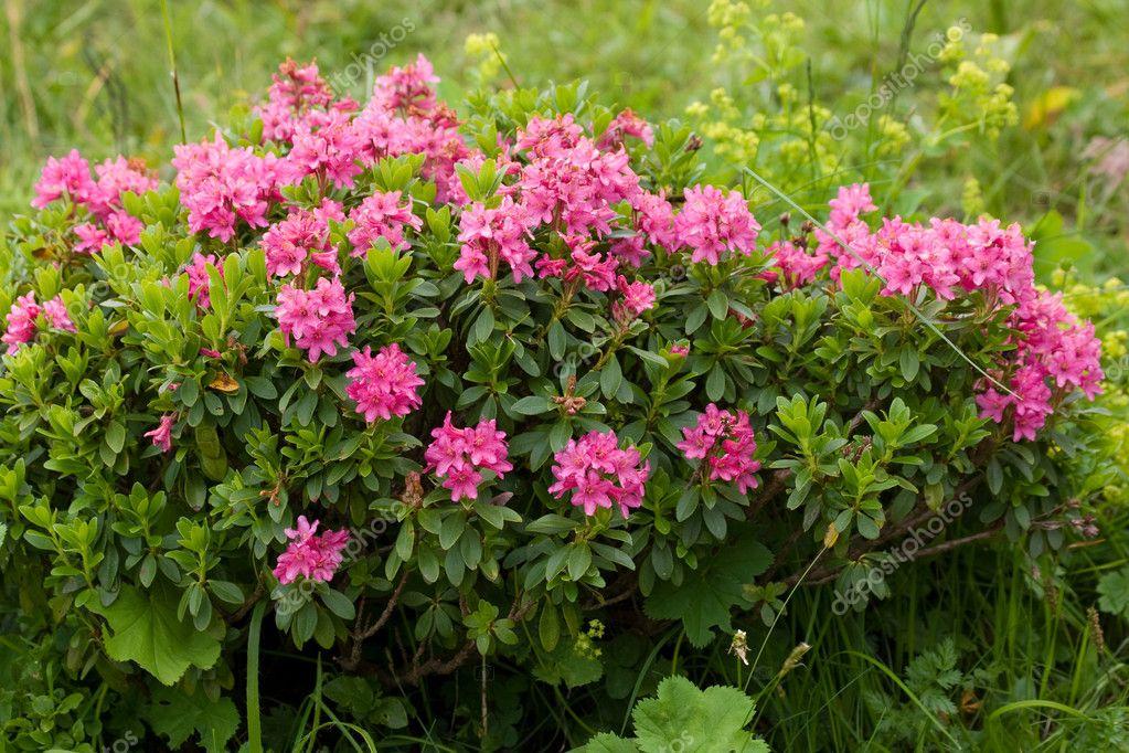 Alpine wild flowers Rhododendron Hirsutum (Bewimperte alpenrose)