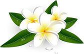 White plumeria (Frangipani)