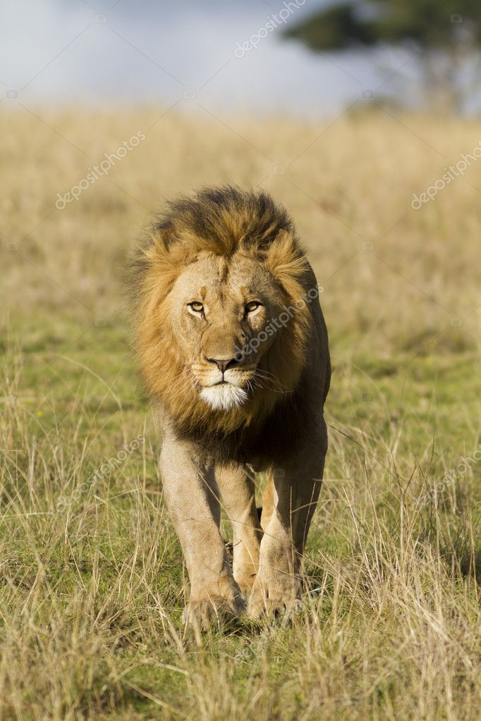 Lion walking