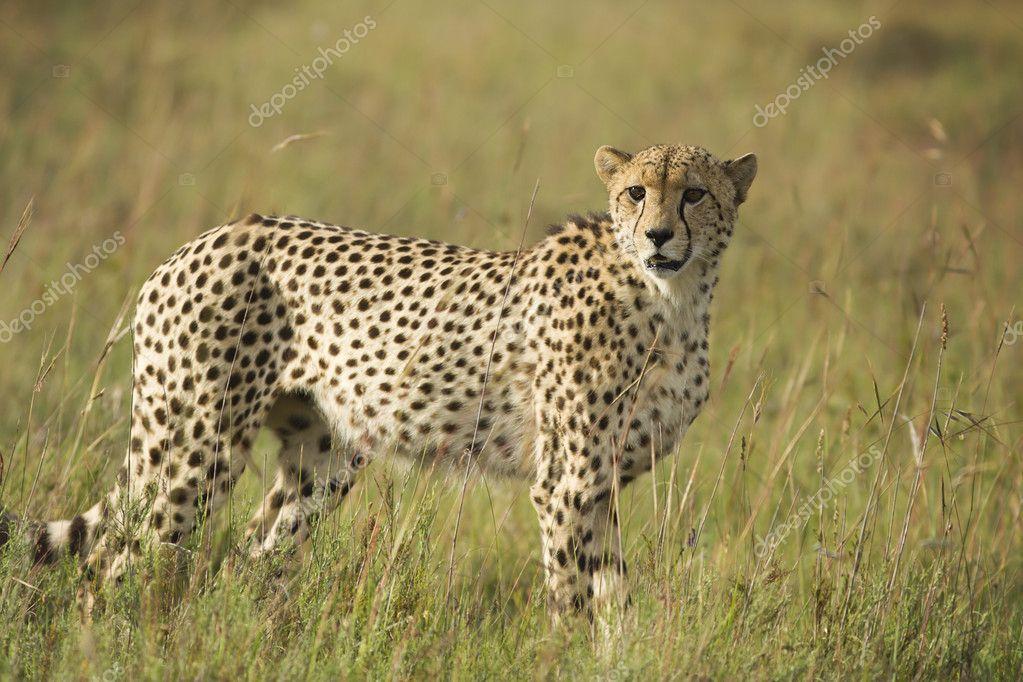 Cheetah scanning plains