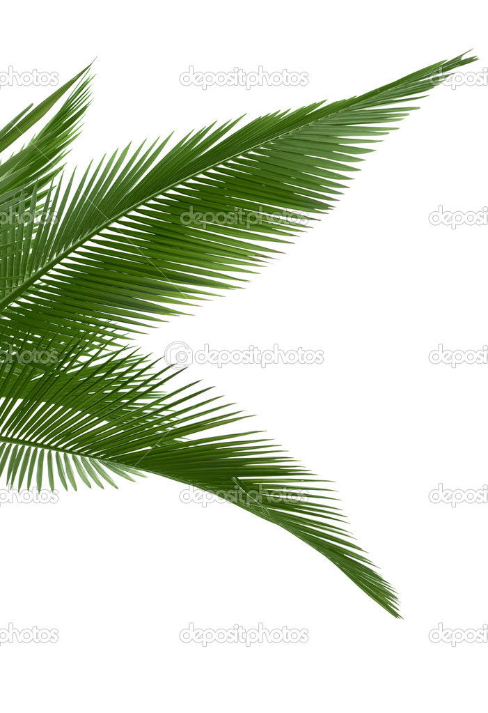 Green palm leaves