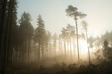 Landscape of misty coniferous forest
