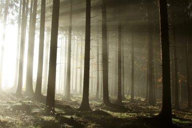 Foggy coniferous forest at dawn