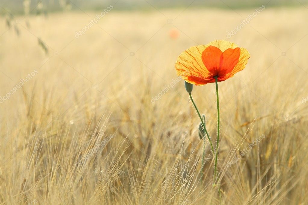 Lonely poppy in the field