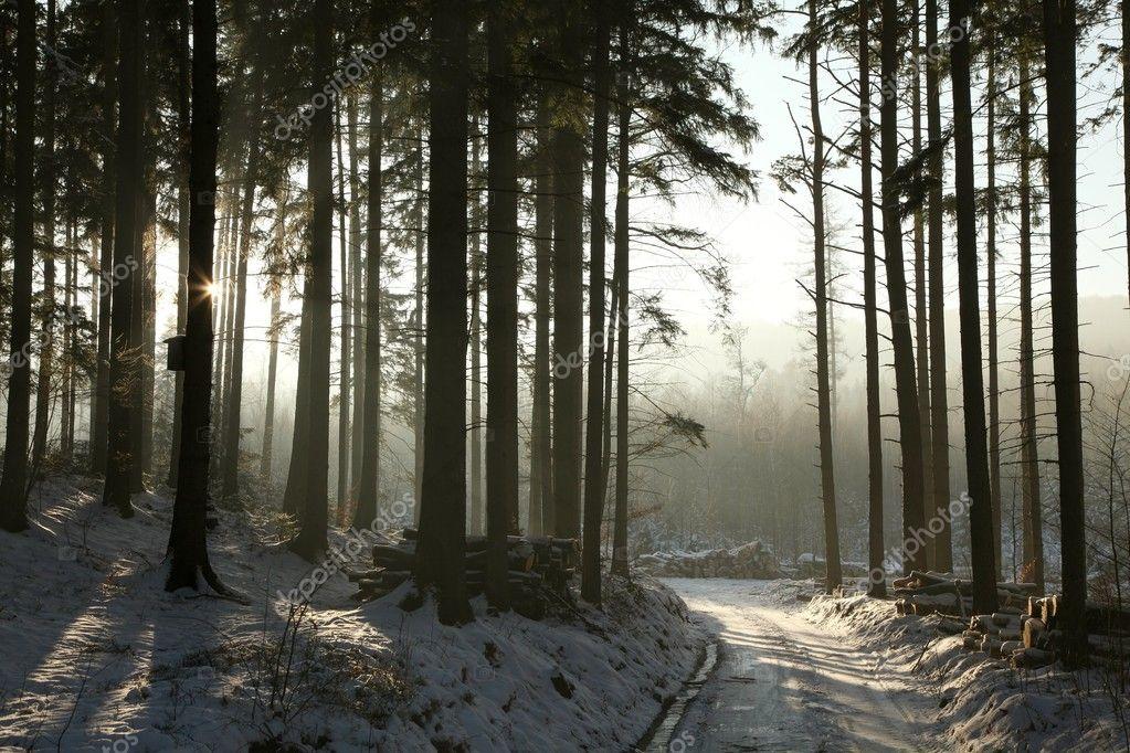 Winter coniferous forest at dusk