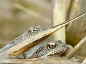 detail žába