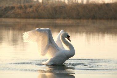 Swan on the lake at dawn