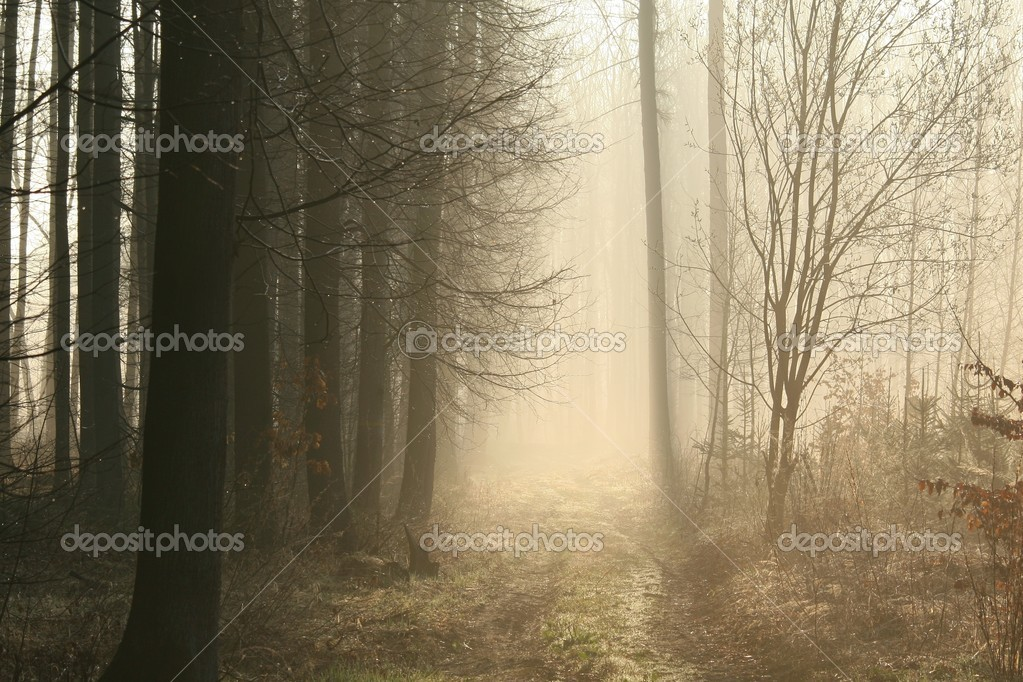 Coniferous forest on a misty spring morning