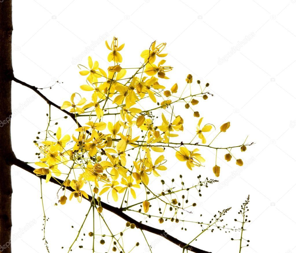 Blossom of the Golden Shower Tree isolated