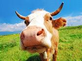 Fotografie zvědavý farma kráva
