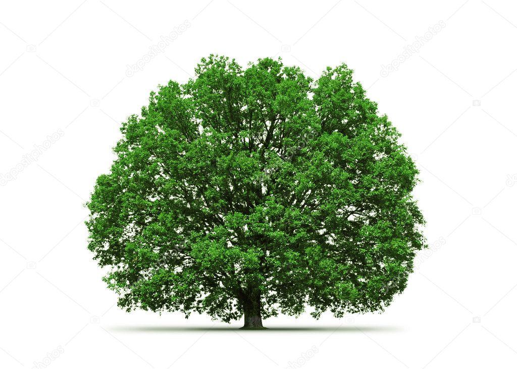 Old oak tree stock vector