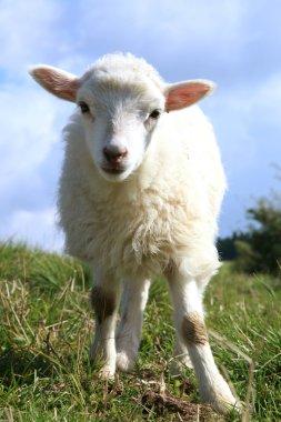 White grazing lambs.
